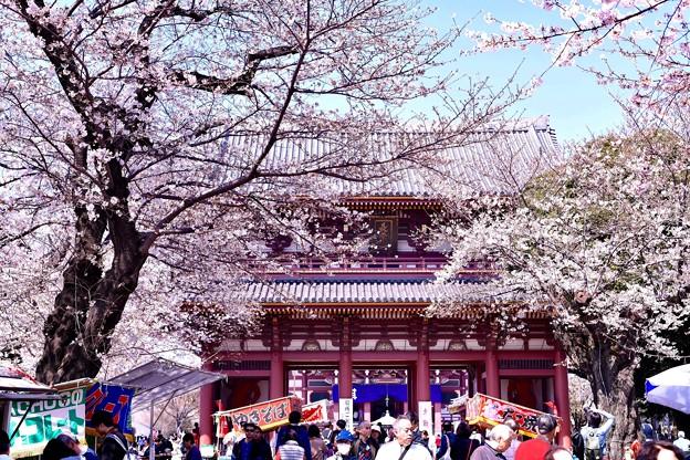東京都大田区 池上本願寺の桜(2)。。20180325