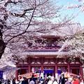 写真: 東京都大田区 池上本願寺の桜(2)。。20180325