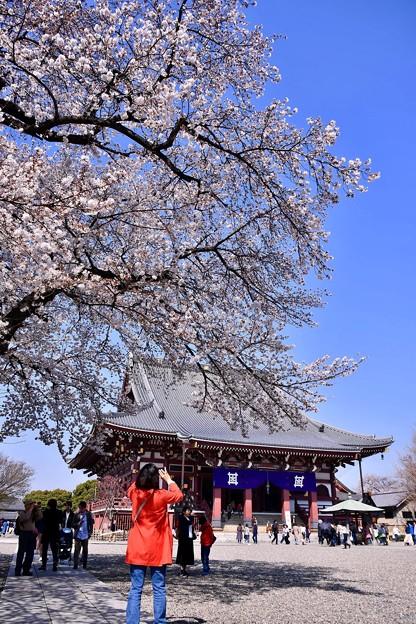 東京都大田区 池上本願寺の桜(3)。。20180325
