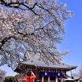 写真: 東京都大田区 池上本願寺の桜(3)。。20180325