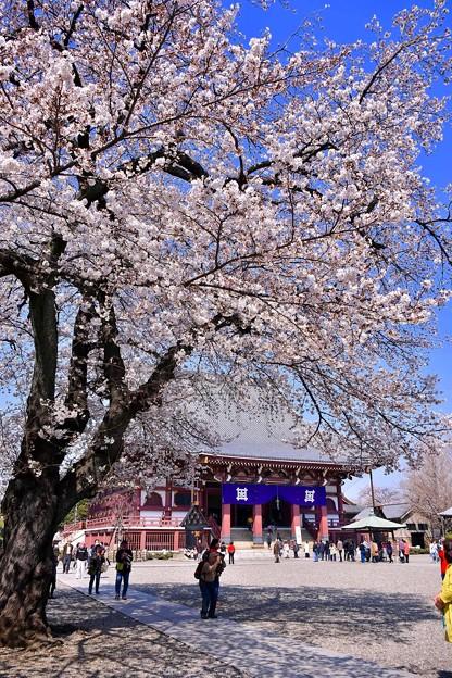 東京都大田区 池上本願寺の桜(4)。。20180325