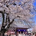 写真: 東京都大田区 池上本願寺の桜(4)。。20180325