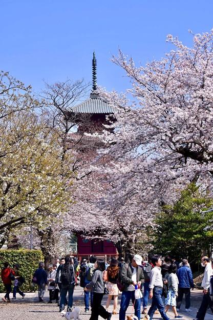 東京都大田区 池上本願寺の桜(5)。。20180325