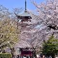 写真: 東京都大田区 池上本願寺の桜(5)。。20180325