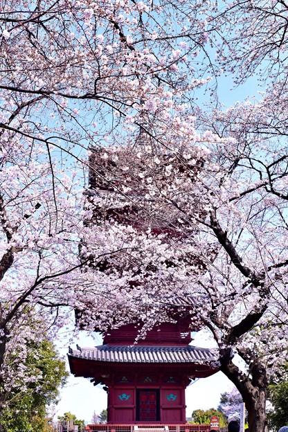 池上本願寺の五重の塔と桜(1)。。20180325