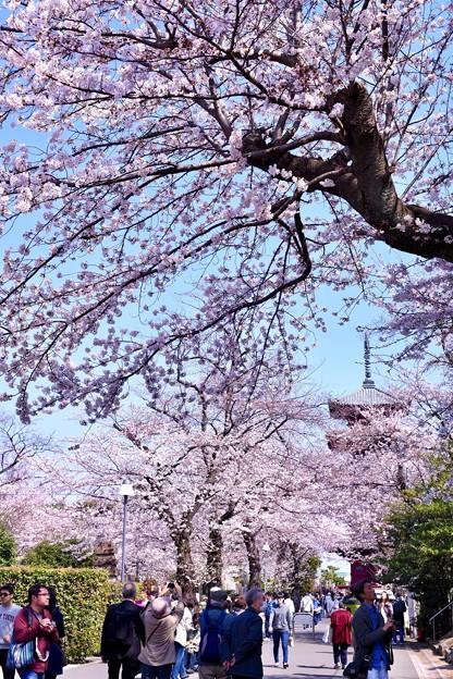 池上本願寺の五重の塔と桜(2)。。20180325
