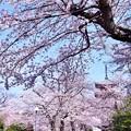 写真: 池上本願寺の五重の塔と桜(2)。。20180325