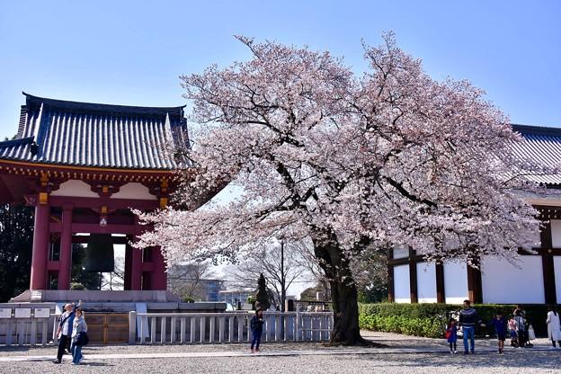 池上本願寺の境内に咲く桜。。20180325