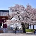 写真: 池上本願寺の境内に咲く桜。。20180325