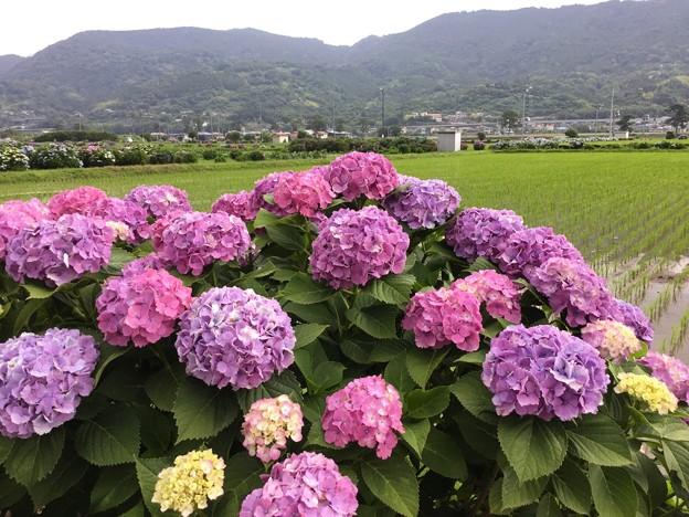 撮って出し。。あじさいの里 開成町へ田植え終えた田んぼと紫陽花 6月10日