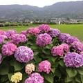 写真: 撮って出し。。あじさいの里 開成町へ田植え終えた田んぼと紫陽花 6月10日