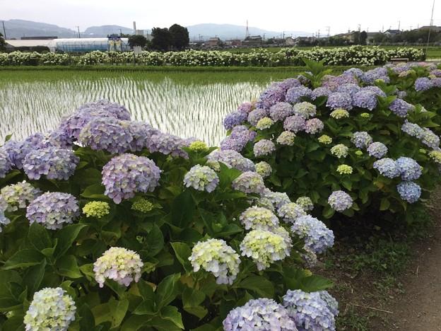 撮って出し。。綺麗な田んぼと紫陽花 開成町あじさいの里 6月10日