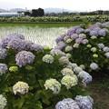 Photos: 撮って出し。。綺麗な田んぼと紫陽花 開成町あじさいの里 6月10日