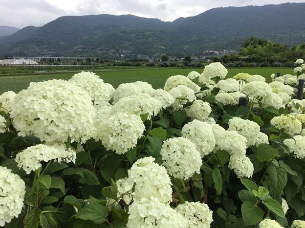 撮って出し。。開成町あじさいの里 白い紫陽花アナベルも満開 6月10日