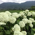写真: 撮って出し。。開成町あじさいの里 白い紫陽花アナベルも満開 6月10日