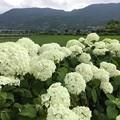 Photos: 撮って出し。。開成町あじさいの里 白い紫陽花アナベルも満開 6月10日