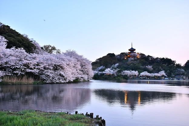 夕暮れへ横浜三渓園。。桜満開だった 20180330