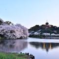 写真: 夕暮れへ横浜三渓園。。桜満開だった 20180330