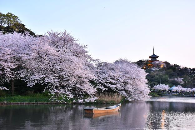 夕暮れの横浜三渓園。。見事だった咲く桜 20180330