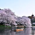 写真: 夕暮れの横浜三渓園。。見事だった咲く桜 20180330