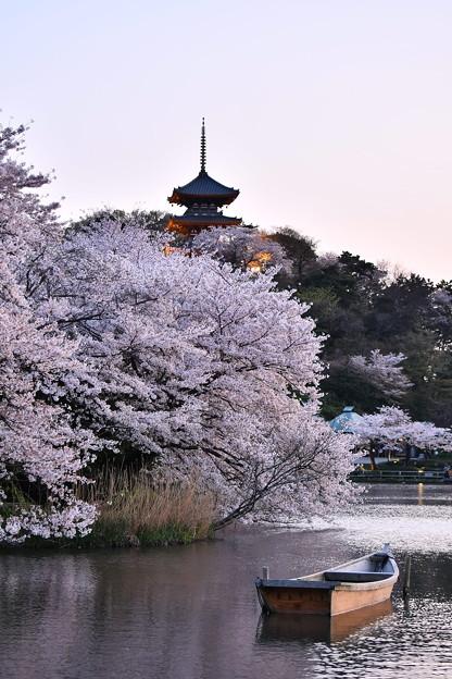 日暮れの三重の塔と桜。。三渓園 20180330