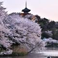 写真: 日暮れの三重の塔と桜。。三渓園 20180330