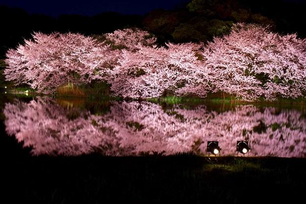 静寂な夜の三渓園。。水面に写る夜桜 20180330