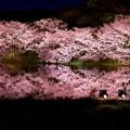 写真: 静寂な夜の三渓園。。水面に写る夜桜 20180330