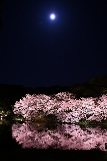 Photos: 三渓園の夜桜とお月さん。。20180330