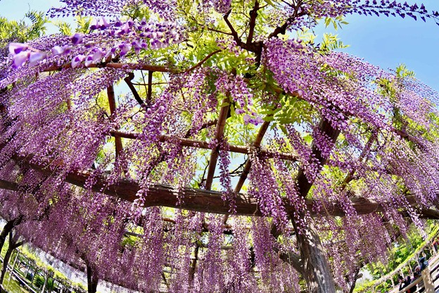 魚眼レンズ見る世界。。亀戸天神藤の花 20180422