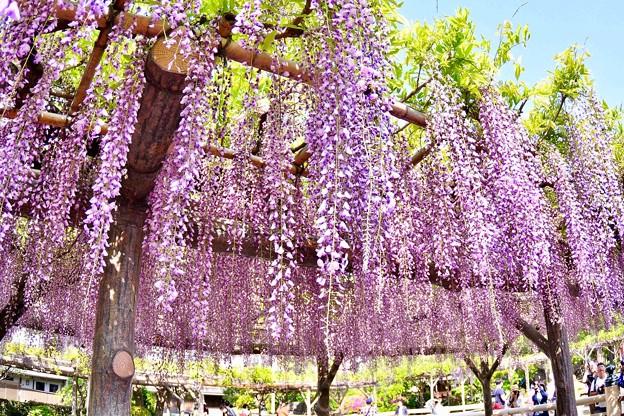 Photos: 綺麗な紫の藤の花。。亀戸天神 20180422