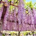 写真: 綺麗な紫の藤の花。。亀戸天神 20180422