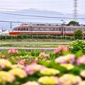 写真: 小田急ロマンスカー最期のLSE 紫陽花と。。20180526
