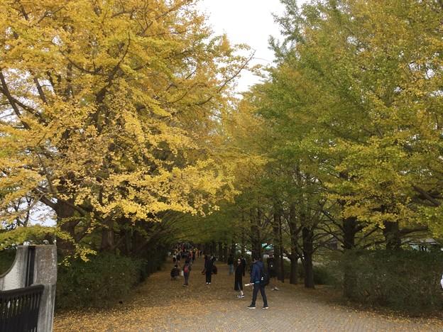 撮って出し。。今年も見頃の昭和記念公園いちょう 11月11日