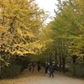 Photos: 撮って出し。。今年も見頃の昭和記念公園いちょう 11月11日