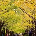 撮って出し。。上も下もいちょうの葉 賑わう昭和記念公園いちょう並木 11月11日