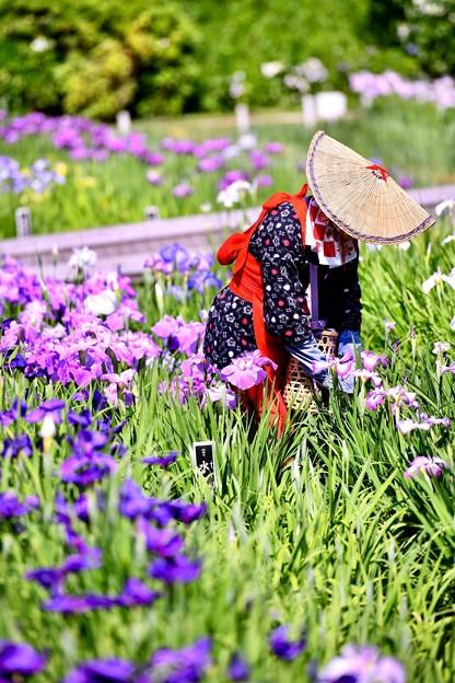 今年の花菖蒲。。横須賀しょうぶ園(2) 20180604