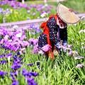 写真: 今年の花菖蒲。。横須賀しょうぶ園(2) 20180604