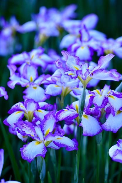 今年の花菖蒲。。横須賀しょうぶ園(4) 20180604