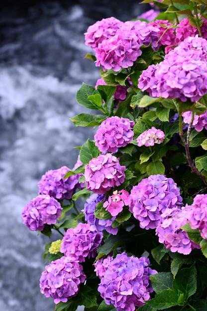 今年撮った紫陽花。。開成町の田んぼと紫陽花(1) 20180610