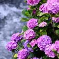 写真: 今年撮った紫陽花。。開成町の田んぼと紫陽花(1) 20180610