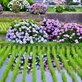 Photos: 今年撮った紫陽花。。開成町の田んぼと紫陽花(2) 20180610