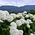 Photos: 今年撮った紫陽花。。開成町の田んぼと紫陽花(4) 20180610