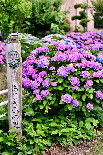 今年撮った紫陽花。。開成町の田んぼと紫陽花(5) 20180610