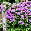 写真: 今年撮った紫陽花。。開成町の田んぼと紫陽花(5) 20180610