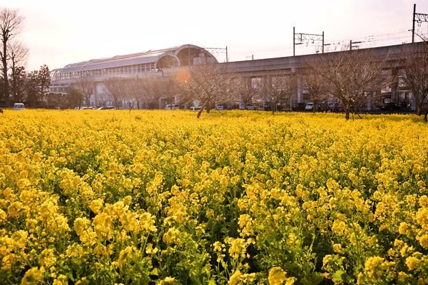 撮って出し。。郊外に行かなくても横浜市内住宅街に菜の花畑(1) 20190223