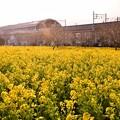 Photos: 撮って出し。。郊外に行かなくても横浜市内住宅街に菜の花畑(1) 20190223