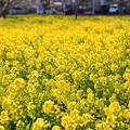 撮って出し。。郊外に行かなくても横浜市内住宅街に菜の花畑(2) 20190223