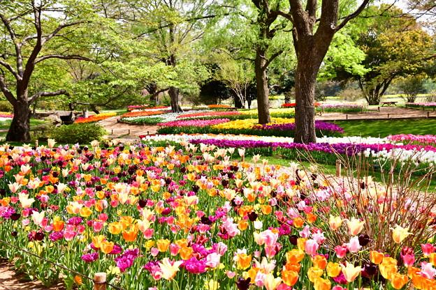 撮って出し。。メルヘンな風景 昭和記念公園チューリップ(1)