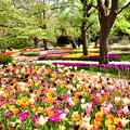Photos: 撮って出し。。メルヘンな風景 昭和記念公園チューリップ(1)